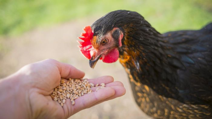 What Do You Feed Chickens?