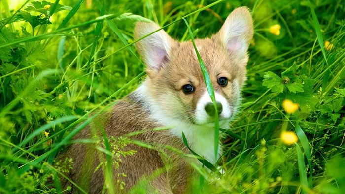 What Are Some Facts About Corgi Dogs?