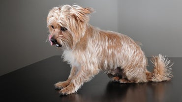What Is a Yorkie-Shih Tzu Mix?