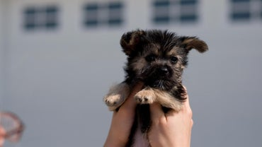 How Do You Find a Maltese-Yorkie Mix Rescue Puppy to Adopt?