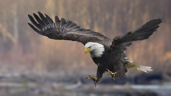 What Are Some Natural Enemies of Bald Eagles?