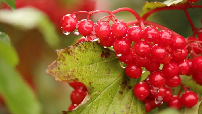 What does cranberry do for a bladder infection?