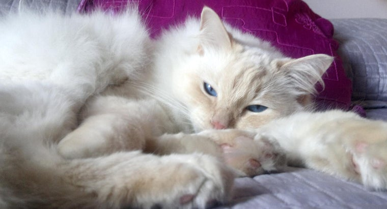 What Is a Ragdoll Cat?