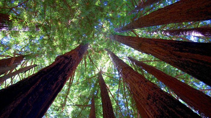 What Are Some Sequoia Tree Facts?