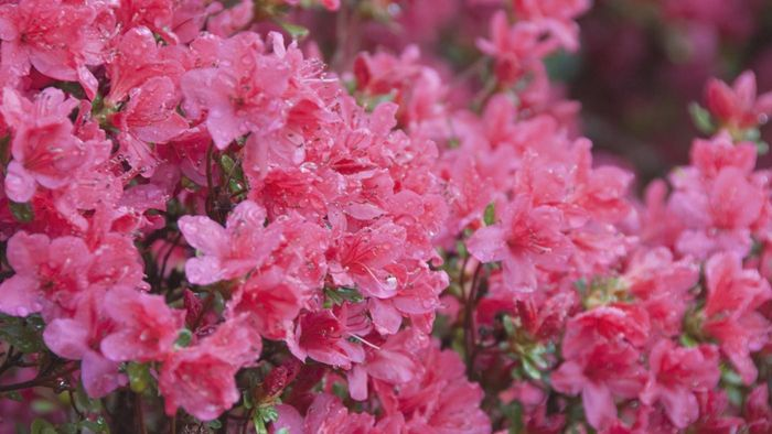 What are the benefits of trimming an azalea bush?