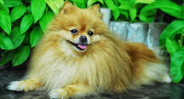 What Are Some Services Available at a Pomeranian Shelter?