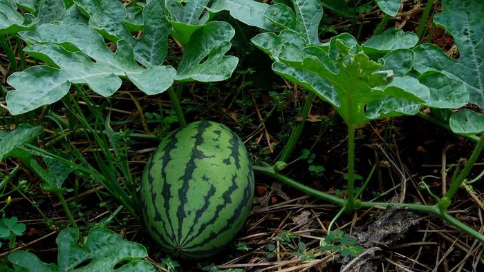 How Do You Grow Watermelon?