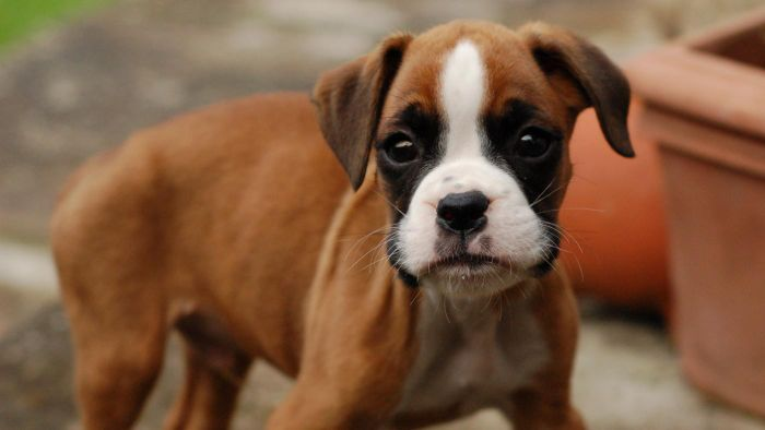 Is It Possible to Find Any Boxer Puppies for Sale for Less Than $200?