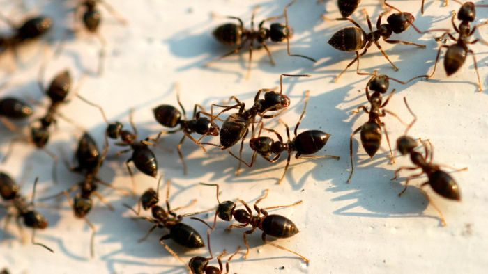 What Are Some Homemade Ant Killers?