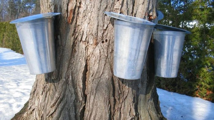 When do you tap a maple tree?