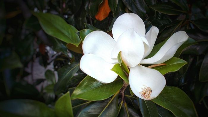 What Are Some Tips for Gardenia Houseplant Care?