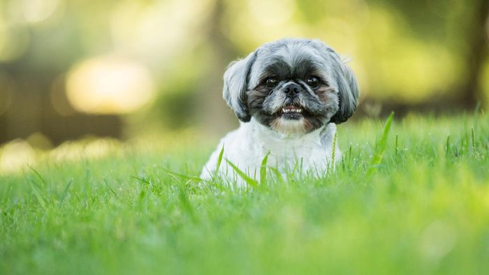 What Kinds of Places Might Have Shih Tzus for Free Adoption?