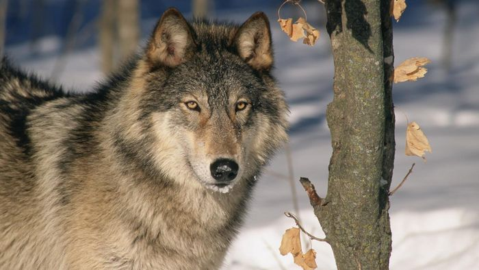What Are Some Interesting Facts About Gray Wolves?