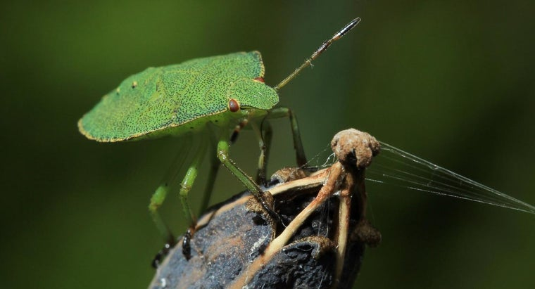 What Foods Do Stink Bugs Eat?