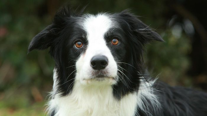 What Are Miniature Collies?