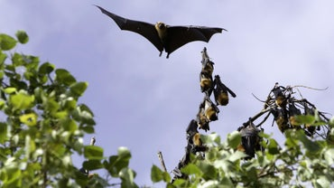 What Are Some Facts About the Flying Fox Bat?