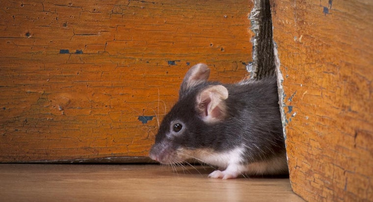 What Is the Best Way to Rid Your Home of Mice?