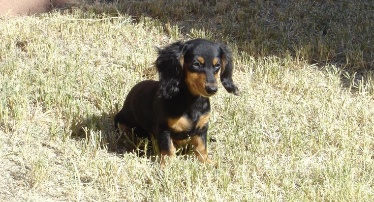 How Do You Find Dachshund Puppies Available for Adoption?