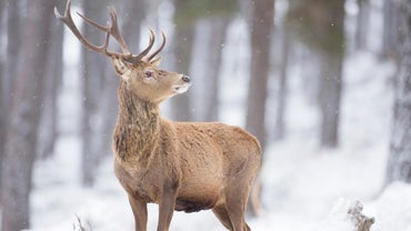 How Can You Tell the Age of a Deer?
