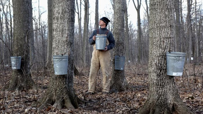 Can Maple Syrup Cure Cancer?