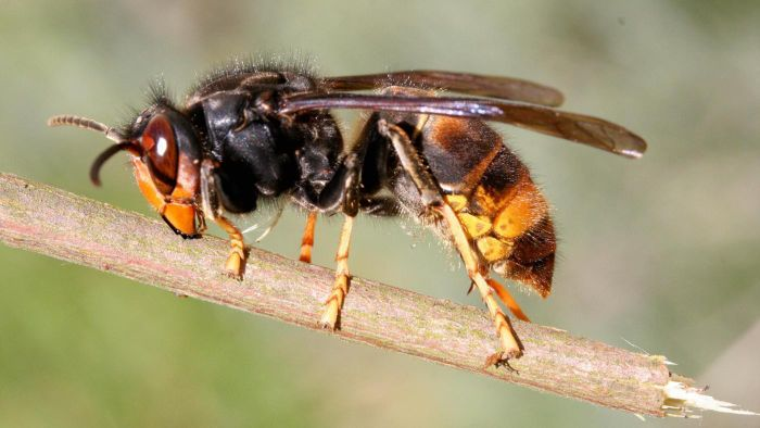 What Are Some Characteristics of Predatory Wasps?