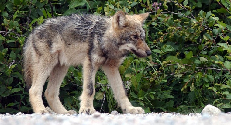 What Are Some Interesting Facts About the Differences Between Different Types of Wolves?