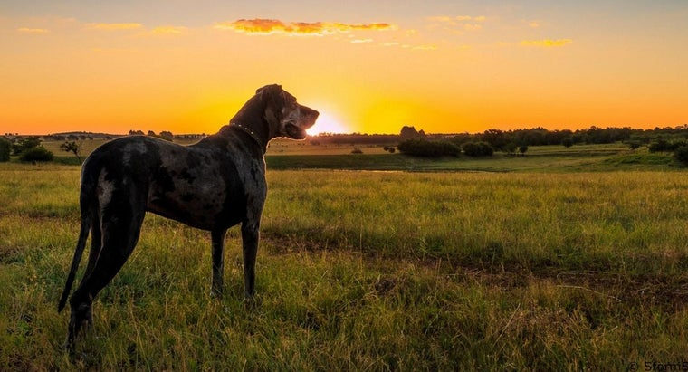 How Do You Adopt a Dog From the Great Dane Rescue of Tampa Bay?