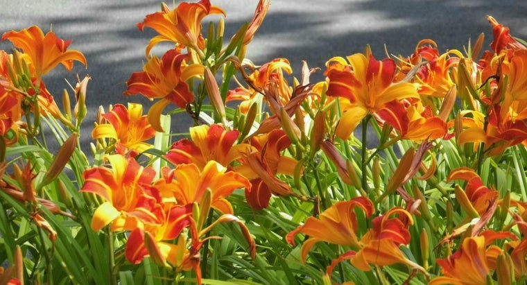 How Do You Care for Daylilies?