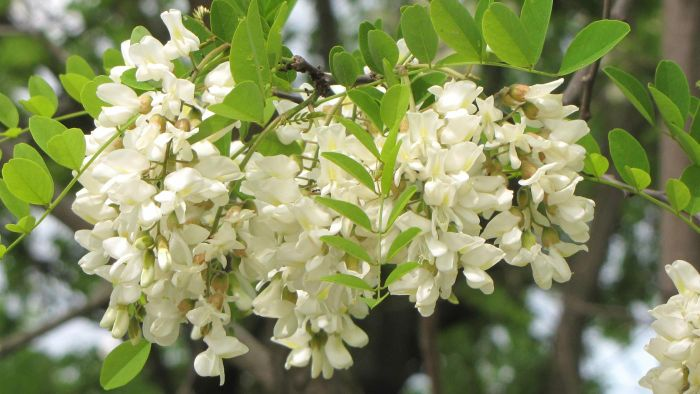 What Are Different Types of Locust Trees?