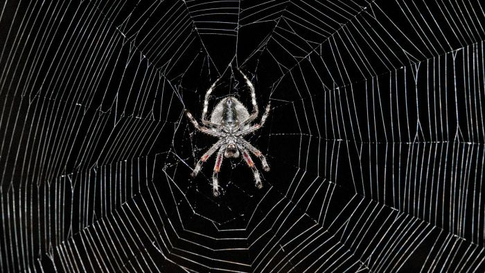 What Are the Common Species of Spiders in California?