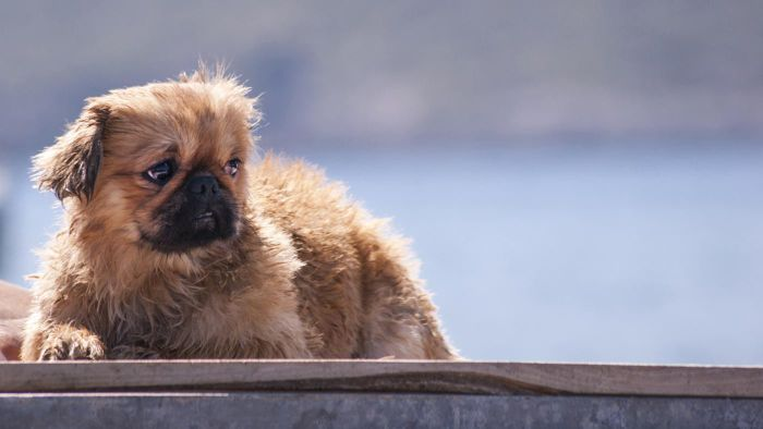 What rescue shelters have Pekingese dogs?