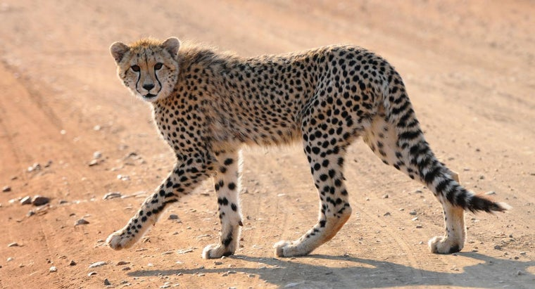 What Are Some Endangered Big Cats?