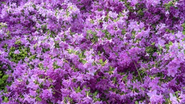 When Is the Best Time to Transplant Rhododendrons?