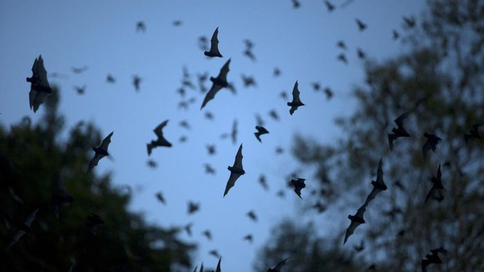 What Does a Spotted Bat Look Like?