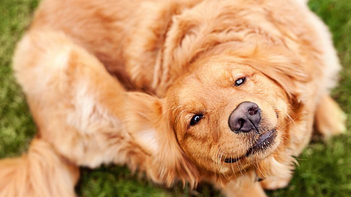 What Is the Treatment for a Dog's Itchy Skin?