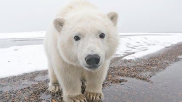 What Are Some Adaptations of Polar Bears?