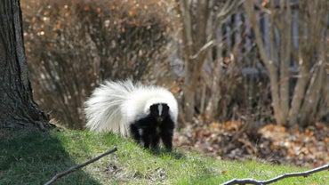 How Do You Eliminate Skunk Odor in the House?