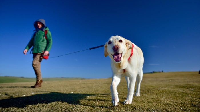 What Are Some Animal Shelters That Rescue English Labradors?