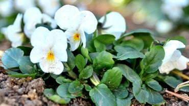 When Should You Plant Winter Flowering Pansies?