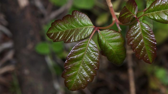 What Are Some Effective Poison Oak Treatments?