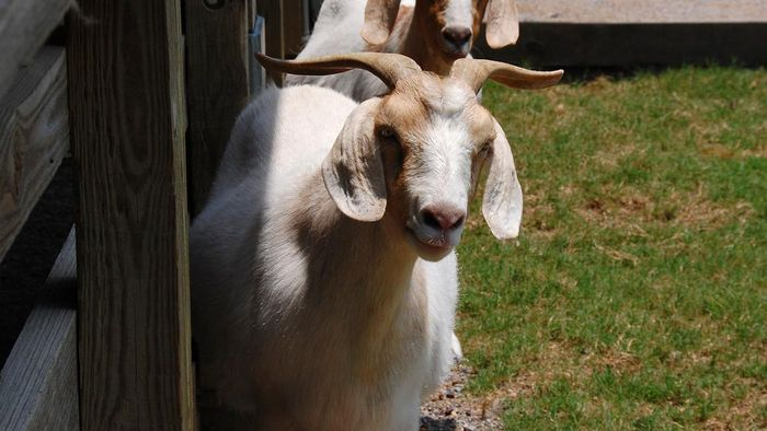 What are common types of goats in Alabama?