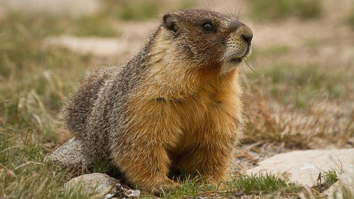 What Are Some Ways to Trap a Groundhog?