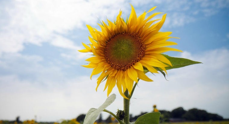 How Much of a Sunflower Is Edible?