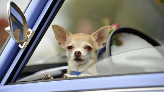 What Are Some Top-Rated Apple Head Chihuahua Rescues?