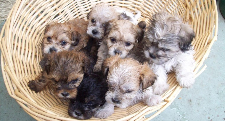 What Are the Requirements for Adopting a Shihpoo Puppy?