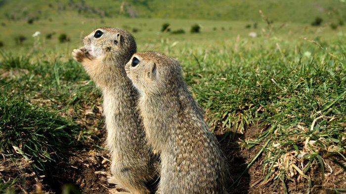 What Are Some Safe Ways to Get Rid of Gophers?