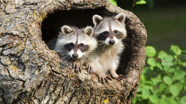 Is There a Way to Make Homemade Raccoon Poison?