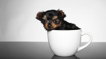 What Is the Average Price of a Teacup Yorkie Puppy?