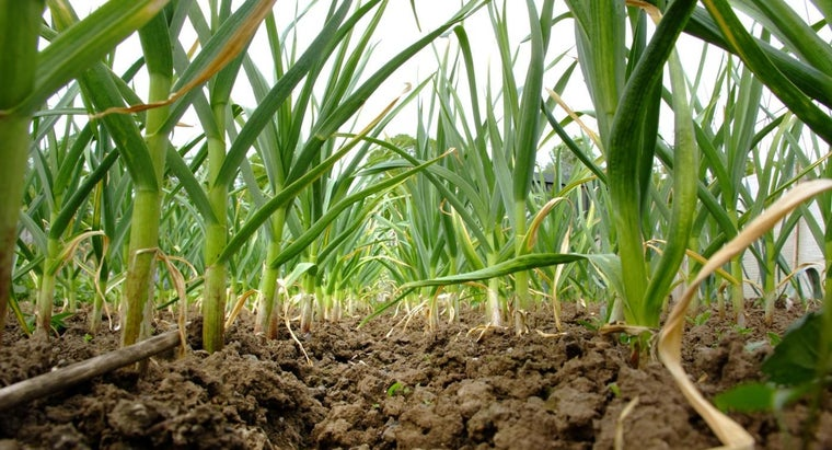 What Are Some Tips for Planting Garlic?