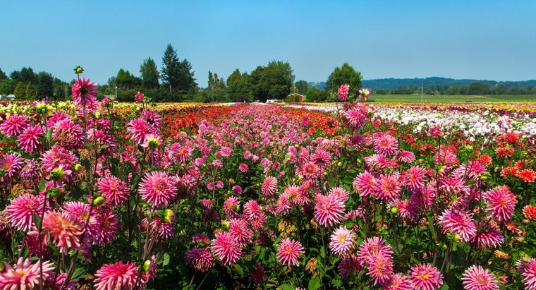 How Do You Plant Dahlias?